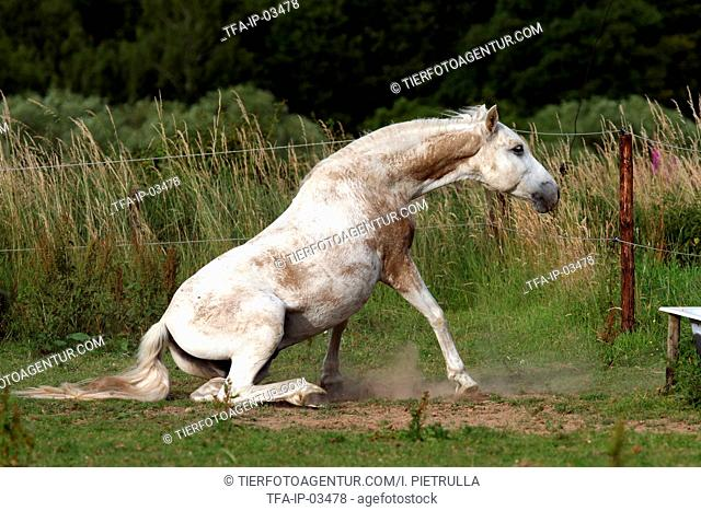 Andalusian horse is rising up