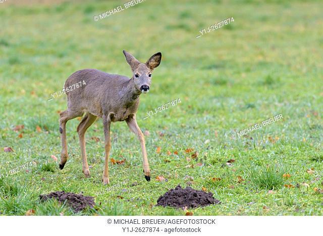 Western Roe Deer (Capreolus capreolus), Female, Hesse, Germany, Europe