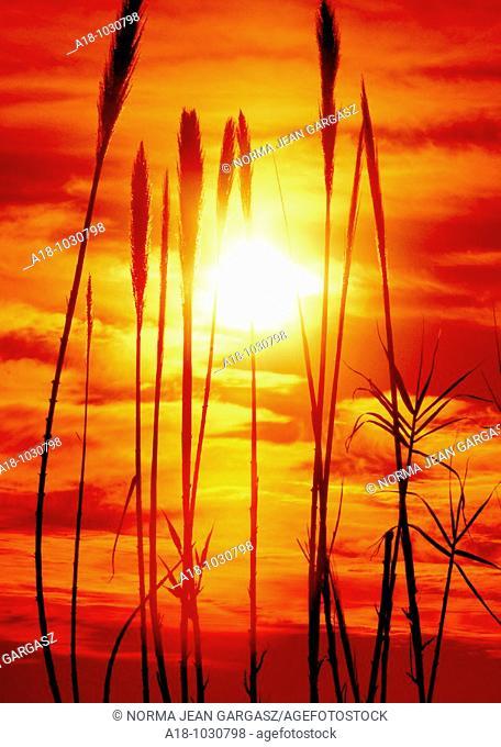 Grass grows along the Rillito River in the Sonoran Desert, Tucson, Arizona, USA
