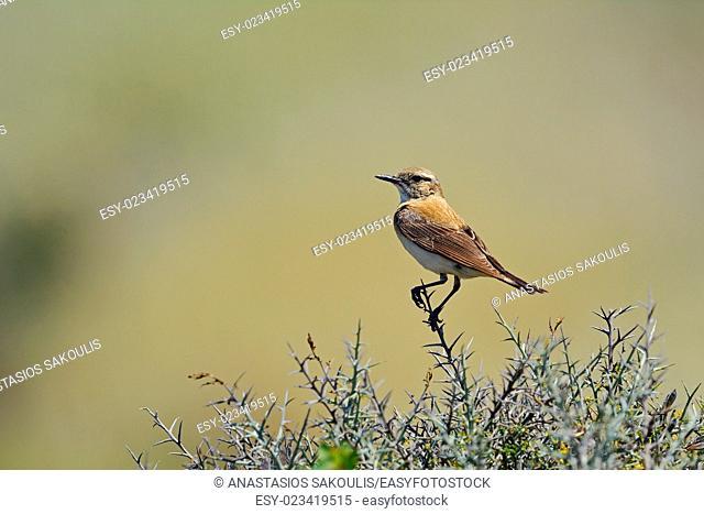 Black-eared Wheatear - Oenanthe hispanica, Crete