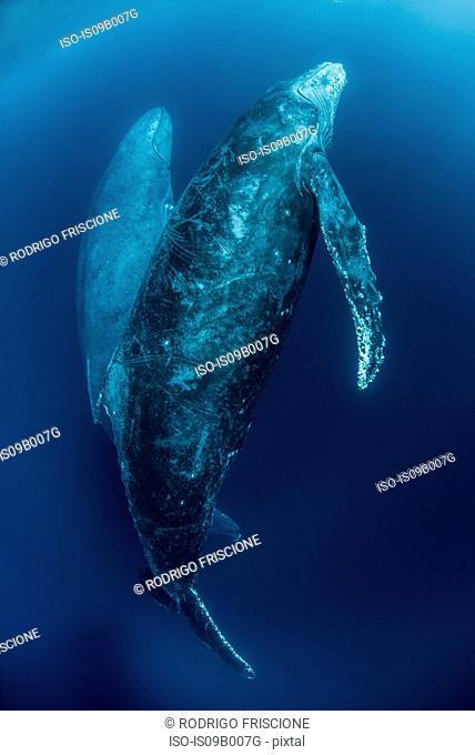 Humpback whales (Megaptera Novaeangliae) ascend from deep dive