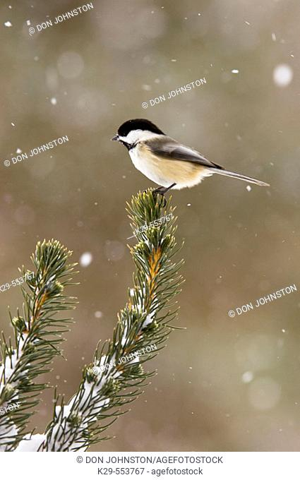Black capped chickadee (Parus atricapillus). Winter resident perched in jack pine bough in snowstorm. Lively, Ontario