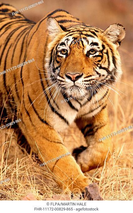Indian Tiger (Panthera tigris tigris) adult female, stalking Sambar (Rusa unicolor), Ranthambore N.P., Sawai Madhopur, Rajasthan, India, February