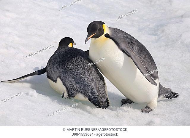 Emperor Penguin Aptenodytes forsteri adult slip down a hill of snow and crashes into another  Snow Hill Island, Antarctic Peninsula, Antarctica