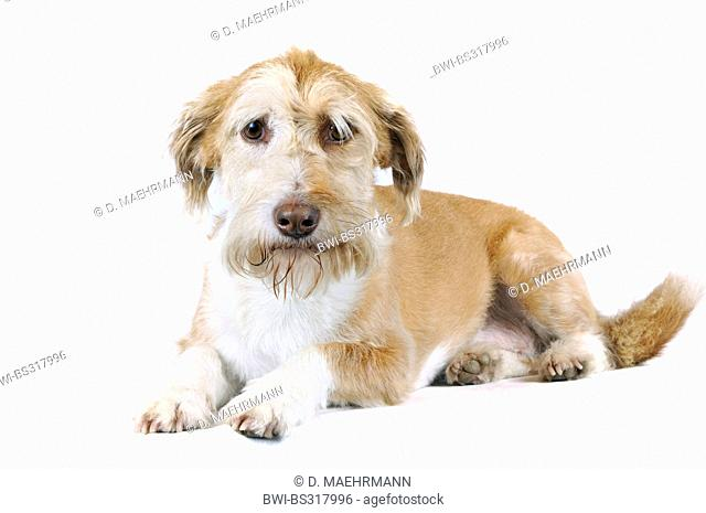 mixed breed dog (Canis lupus f. familiaris), sad-eyed, looking at the camera, Germany