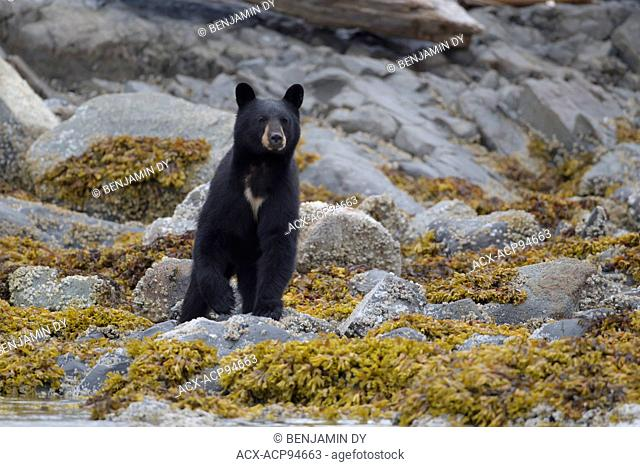 Black bear, Ursus americanus, British Columbia, Canada