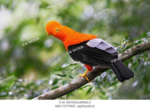 Andean Cock of the Rock - male (Rupicola peruviana)