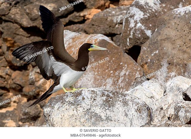 Brown Booby, adult, Raso, Cape Verde (Sula leucogaster)
