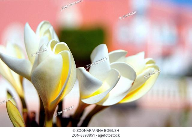Close up of Plumeria flowers and buds