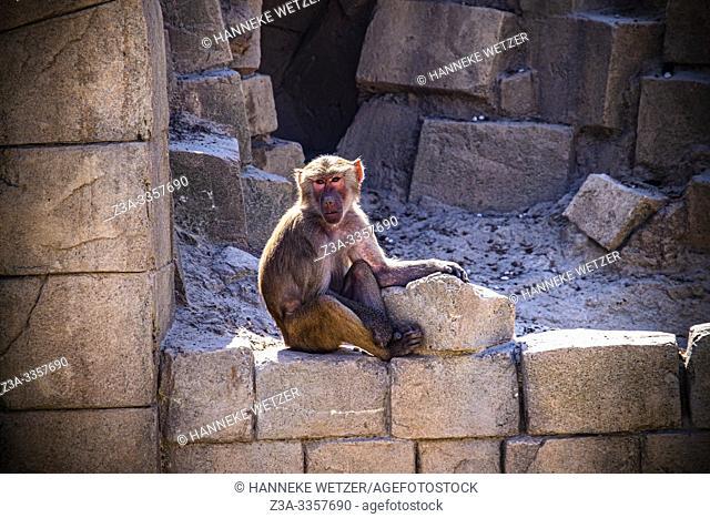 Baboon in Wildlands Emmen, The Netherlands, Europe