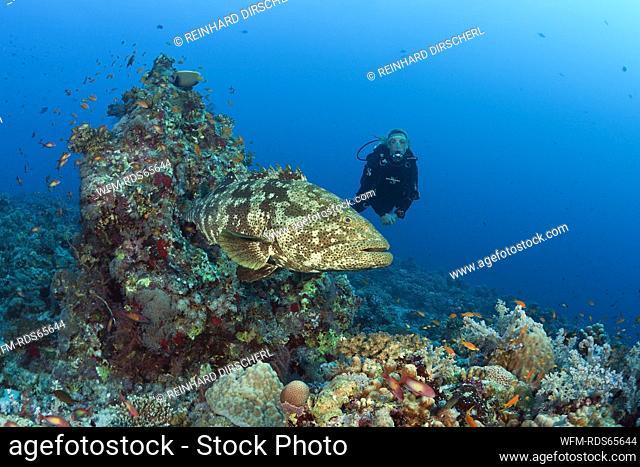 Scuba Diver and Malabar Grouper, Epinephelus malabaricus, Red Sea, Ras Mohammed, Egypt