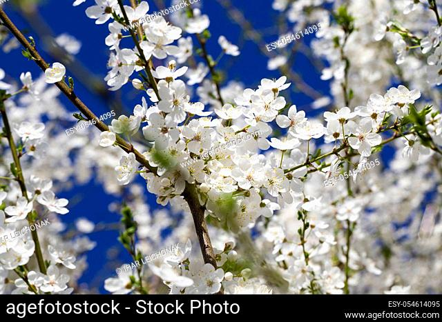blooming beautiful real fruit trees in springtime in orchard, close-up and details of plants in bloom on blue sky background