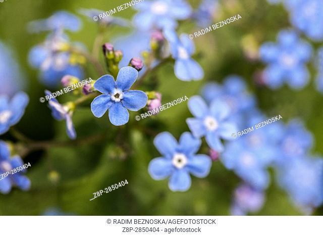 Siberian bugloss Brunnera sibirica, flowers and leaves