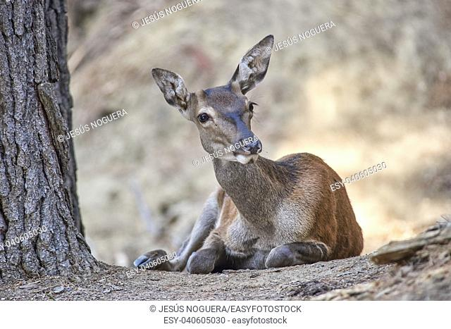 Young deer resting. Sierra de las Nieves Natural Park. Malaga, Spain