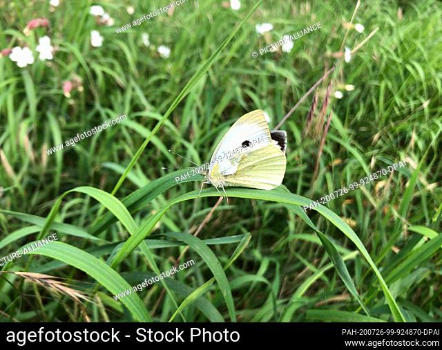 """24 July 2020, Mecklenburg-Western Pomerania, Gützkow: A cabbage white sitting on a blade of grass. (to dpa """"""""Catastrophic year for butterflies - even..."""
