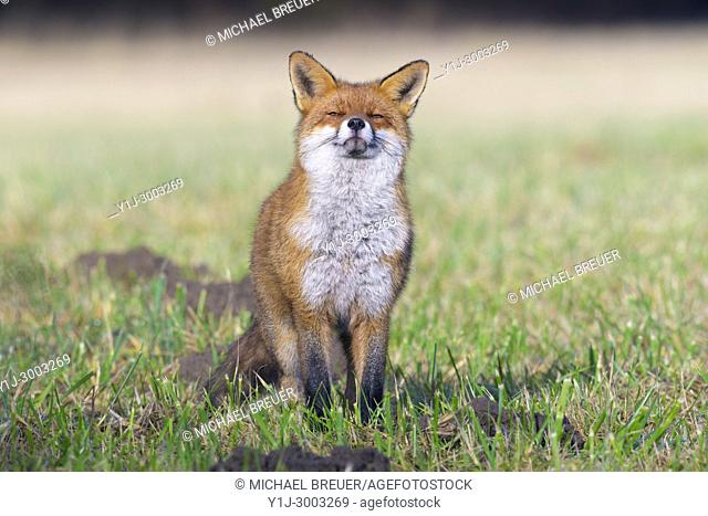 Red fox (Vulpes vulpes) on meadow, Hesse, Germany, Europe