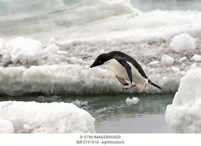 Adelie penguin (Pygoscelis adeliae) on the ice shelf, Brown Bluff, Antarctic Peninsula, Antarctica