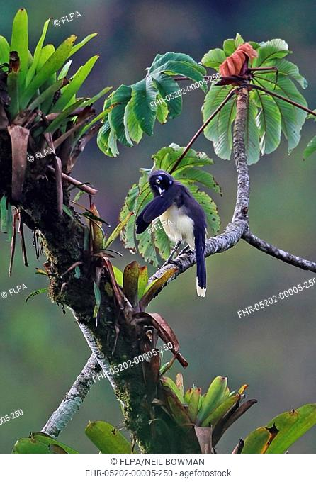 Black-chested Jay (Cyanocorax affinis zeledoni) adult, preening, perched on branch, El Valle, Panama, October