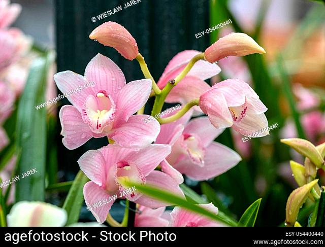 Close up of beauty pink orchid flower