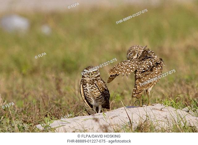 Burrowing Owls, Athene cunicularia, wing ,stretching