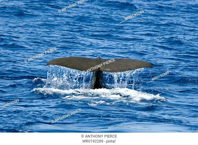 Sperm Whale Physeter Macrocephalus Azores, North Atlantic