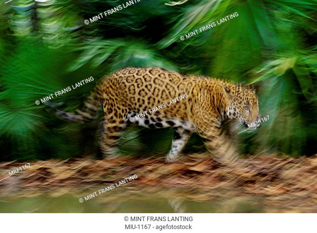 Jaguar in motion, Panthera onca, Belize