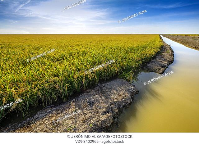 Rice fields in the Guadalquivir river delta near Los Palacios y Villafranca, Sevilla province. Southern Andalusia, Spain. Europe