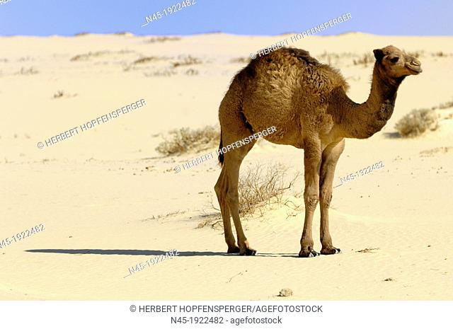 Camel; Camelus Dromedarius; Young Camel; Baby Camel; Egypt Desert; Egypt