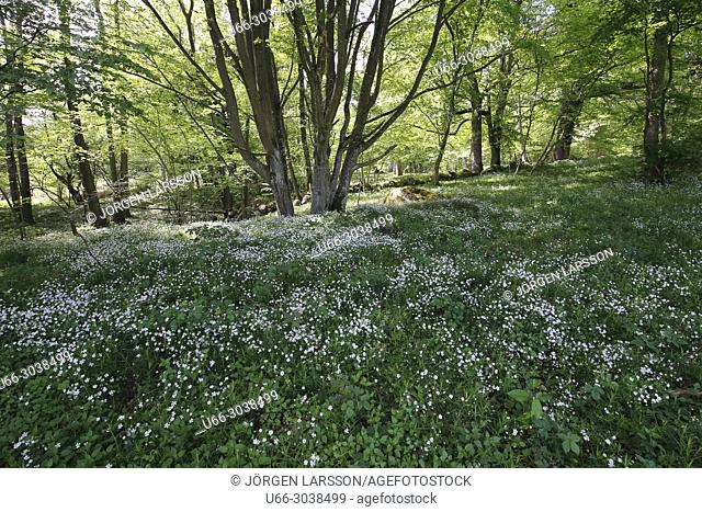 Spring flowers, beech forest, Stenshuvud in Skane, Sweden