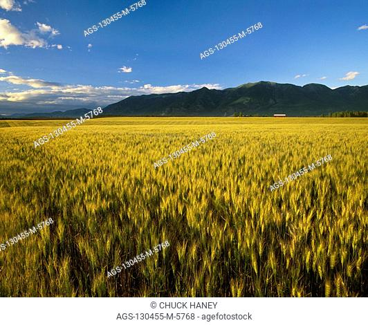 Agriculture - Ripening wheat crop in the late afternoon light with the Swan Mtns. in the background / MT - Flathead Valley