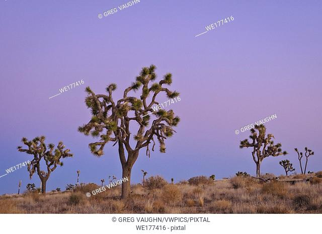 Joshua trees at dusk; Joshua Tree National Park, California