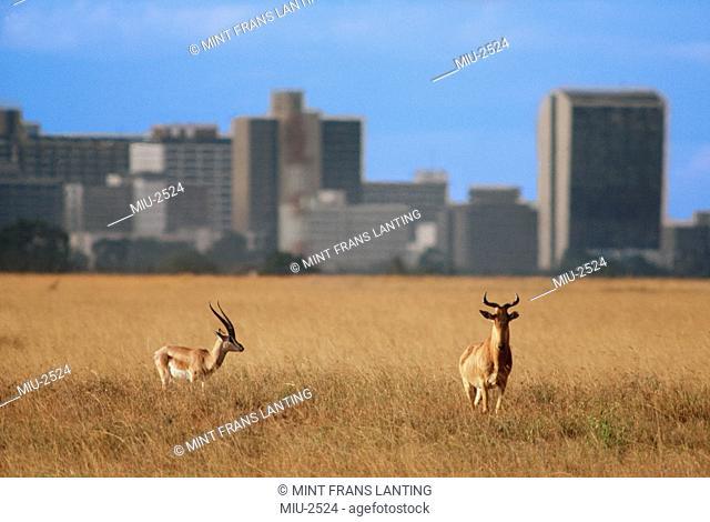 Topi, Damaliscus lunatus, and grant's gazelle, Gazella Granti, with city skyline, Nairobi National Park, Kenya