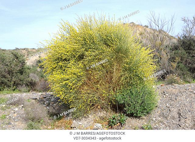 Albaida (Anthyllis cytisoides) is a shrub native to Mediterranean coast of Iberian Peninsula, Balearic Islands and north Africa