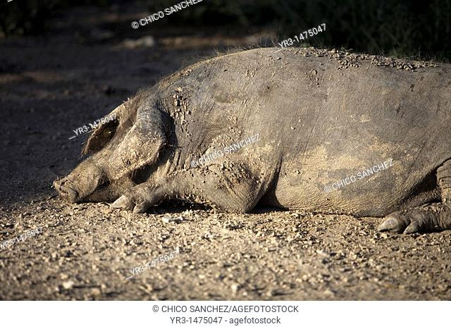 A Spanish Iberian pig, the source of Iberico ham known as pata negra, sleeps in a pig pen in Prado del Rey, Sierra de Cadiz, Cadiz province, Andalusia, Spain