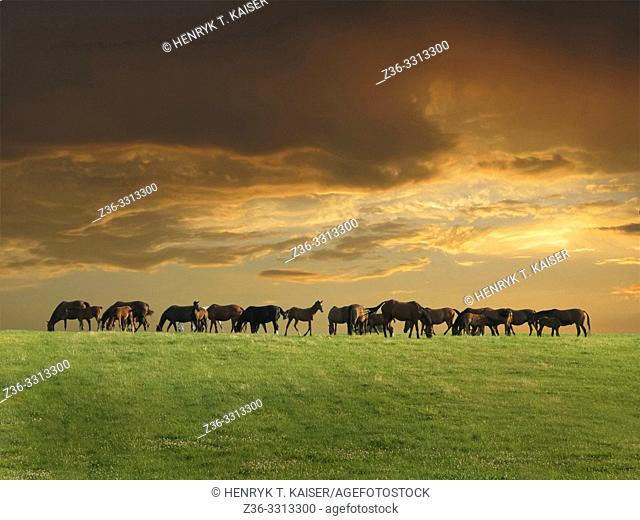 Horses grazing on a field at sunset, Lesser Poland