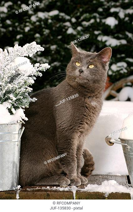 grey domestic cat - sitting - winter