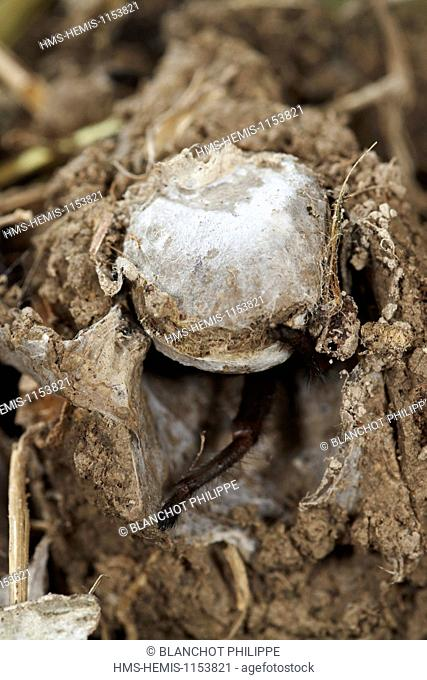 France, Corsica, Araneae, Mygalomorphae, Ctenizidae, Trapdoor spider (Cteniza sauvagesi), at the entrance of its burrow