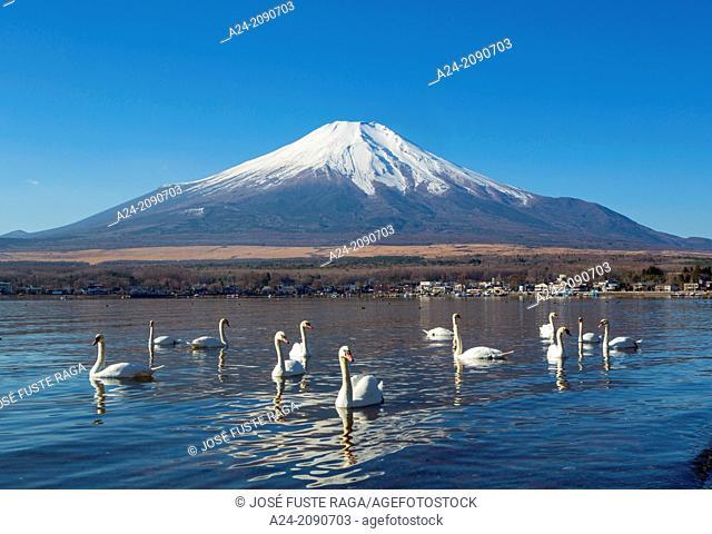 Japan , Lake Yamanaka , Swans and mount Fuji