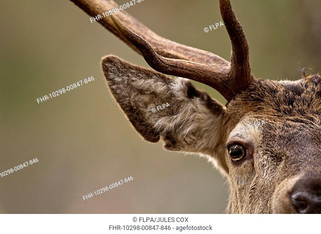 Red Deer Cervus elaphus stag, close-up of head, in pine forest, Cairngorm N P , Highlands, Scotland, january