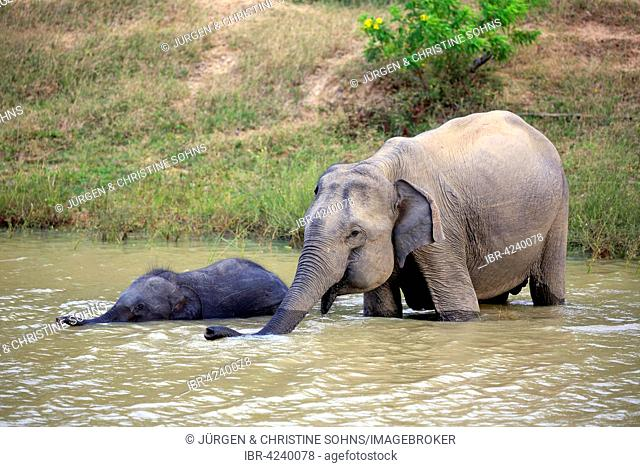 Sri Lankan elephant (Elephas maximus maximus), mother with calf in water, drinking, Yala National Park, Sri Lanka