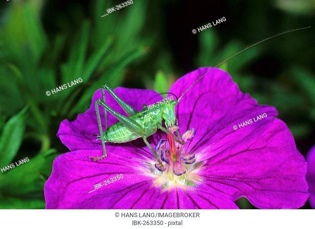 Larva of Great green bush-cricket (Tettigonia viridissima) on cranesbill