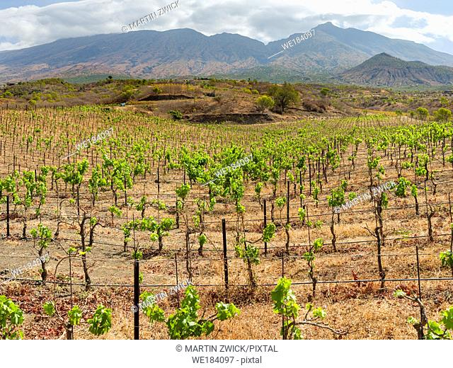 Modern viniculture at winery Maria Chaves. Fogo Island (Ilha do Fogo), part of Cape Verde in the central atlantic