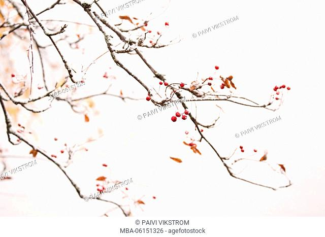 Snowy Rowan branches with red berries