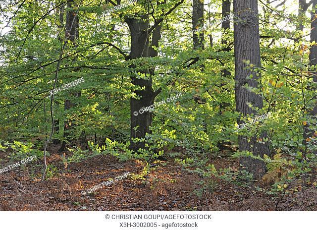 common beech tree in the Forest of Rambouillet, Haute Vallee de Chevreuse Regional Natural Park, Department of Yvelines, Ile de France Region, France, Europe