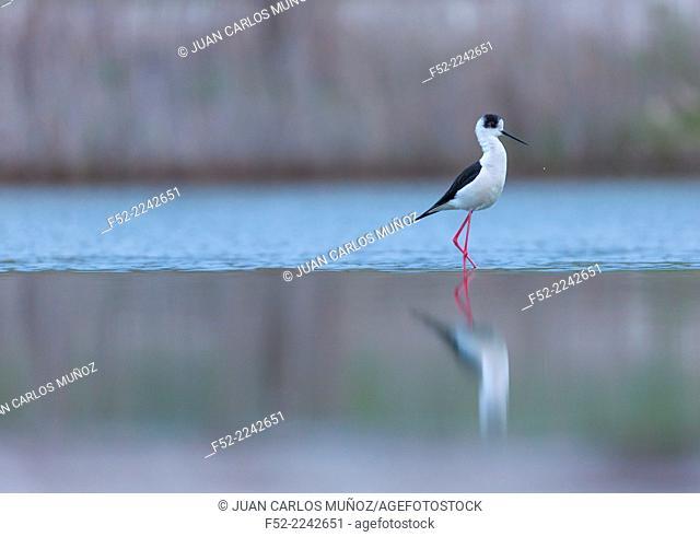 Black-winged stilt, common stilt, or pied stilt (Himantopus himantopus), Bulgaria