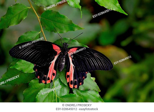 Beautiful black butterfly, Scarlet Mormon or Red Mormon