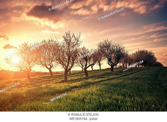 Cherry trees against sunset