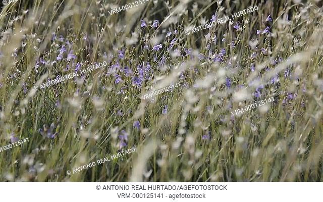 Flowers and Wind. Almansa. Albacete. Spain