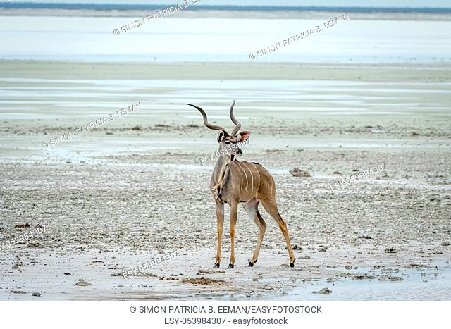 Male Kudu standing at water in the Etosha National Park, Namibia