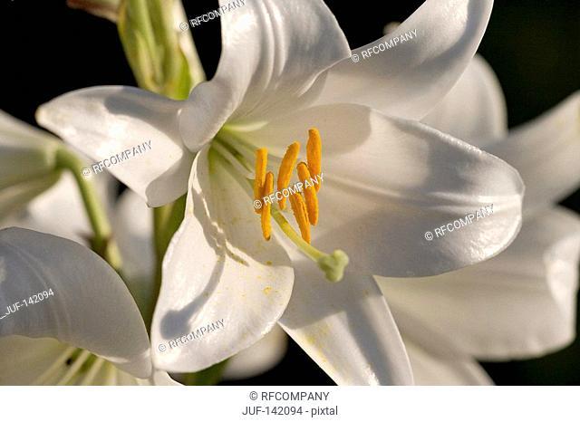 Madonna lily / Lilium candidum